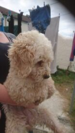 Lovely Toy Poodle female For sale