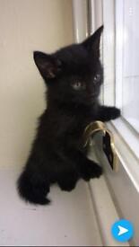 Black tubby kitten