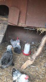 Beautiful grey /blue cockerel needs new home