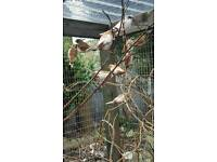 Two bengalese finches and cage