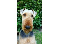 Airedale Terrier Puppy KC Reg