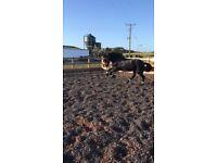 Stunning full pedigree Friesian mare for sale
