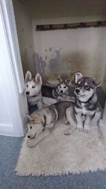 1 boys Husky puppy left ready to go to there forever homes