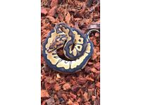 Stunning female clown royal python and others