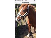 HONEY - WELSH SECTION C MARE