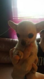 For sale chihuhuas