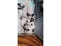 8 sprocker puppies ready now