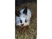 10 week old baby rabbits