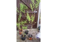 Attractive pot grown TWISTED WILLOW trees 3 to 5 ft tall (90-150cm) various natural shapes