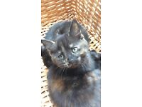 Kitten 2 months old, fully litter trained £20