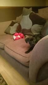 Staff pup needing a good loving home