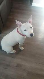 Female staffy for sale