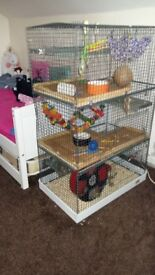 2 Male Degu's with cage