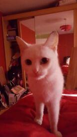 Beautiful pure white blue eyed cat