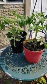 Mature tomato plants for sale