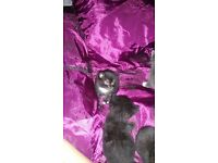 kittens for sale 40.00