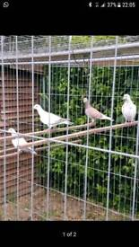 Pigeons forsale
