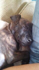 8 week old Staffy puppy (male)