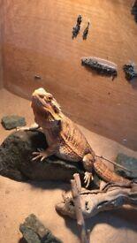 For Sale - 1 year old Female Bearded Dragon And Vivarium