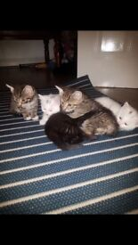 Most beautiful kittens looking for a lovely home