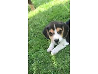 Pure Beagle Puppies for Sale eligible for Kennel Club Registration