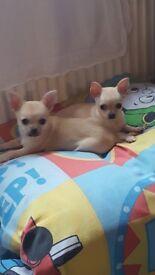 Chihuahua Girl pupies