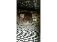 Lovely female chinchilla for sale with xl cage and some accessories included