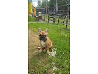 Male french bulldog pup for sale