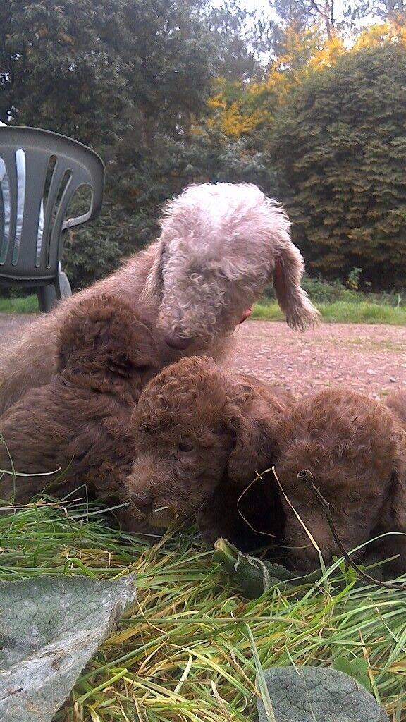 Bedlington pups for sale.