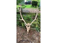 Taxidermy Red Deer Skull