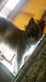 Amazing teddy bear akita/malamute Dog