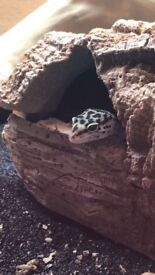 Leopard Gecko with everything included