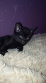 Kittens for sale 8 weeks old litter trained ferxing well ready to go to new homes