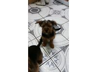 Yorhshire Terrier pupie looking for new home!