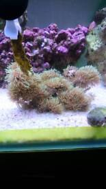 Green star polyes coral