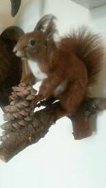 Taxidermy Squirrel(SOLD)
