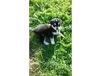 Husky / harrier pups puppies £100