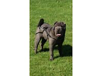 Gorgeous chunky shar Pei pups ready to go Kc registered