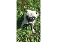 Lovely girl pug for sale due to no fault of her own.