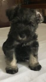 ADORABLE MINIATURE SCHNAUZER PUPPIES FOR SALE, ONLY 2 REMAINING, 1 GIRL, 1 BOY