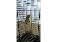 Young budgie and cage