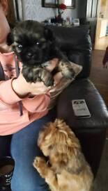 Stunning shihtzu pups