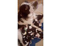 Seven beautiful Pedigree English Springer Spaniel Puppies for Sale
