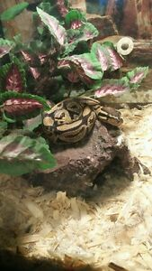 5 year old ball python, tank and accessories