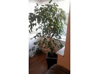 Live 6ft Weeping Fig Indoor Plant/Tree