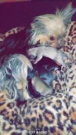 Chihuahua x Yorkie puppies