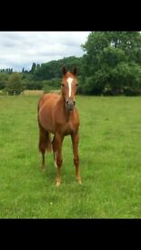 Beautiful thoroughbred cross mare for part loan: