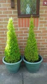 2xconifers in pots 4ft