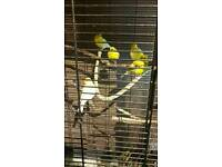 2 canaries and cage