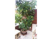 indoor unbrella plant